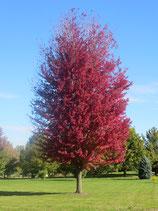 """Rot-Ahorn Acer freemanii """"Autumn Blaze"""" 200cm Stammhöhe 8-10cm Stammumfang"""