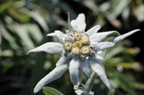 Edelweiss, Leontopodium alpinum  im 9-10cm Topf