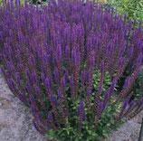 "Ziersalbei, Salvia nemorosa ""Blaukönigin"" im 11cm Topf"
