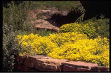 """Polsterpflanze Steinkraut """"Aurinia saxatilis"""" gelb im 9x10cm grossen Topf"""