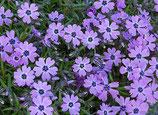 "Polsterphlox, Phlox "" Purple Beauty "" im 9x11cm Topf"