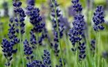 Lavendel Hidcote Blue
