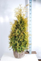Thuja Yellow Ribbon 80-100cm