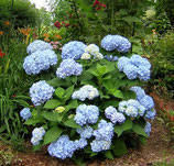 Hortensia Endless Summer blau / Hydreangea Endless Summer blau 50-60cm gross