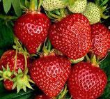 "Erdbeere ""Ostara"" im 9cm Topf / Profiqualität"