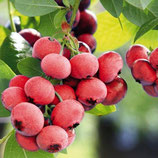 Heidelbeere Pink Berry