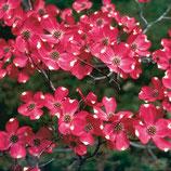Amerikanischer Blumenhartriegel, Cornus florida Red Giant 60-80cm