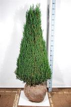 Kegelwachholder / Juniperus Stricta 100-120cm hoch