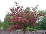 """Zierapfel """"Veicht's Scarlet"""" ( Malus Hybride """"Veitch's Scarlet ) 180-200cm Stammhöhe  / 10-12cm Stammumfang"""