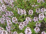 Thymian, Thymus vulgaris  im 9-10cm Topf