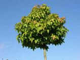 Kugel-Amberbaum Liquidambar Gumball 200cm Stammhöhe 8-10cm Stammumfang