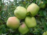 Apfel Glockenapfel 125-150cm gross