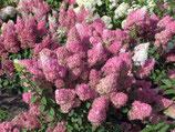 "Rispenhortensia ""Sundea Fraise"" 40-50cm hoch"