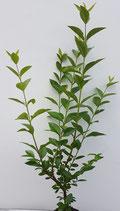 """w; Wintergrüner Liguster / Ligustrum vulgare """"Atrovirens"""" wurzelnackt 60cm hoch"""
