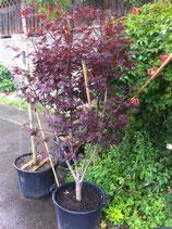 Japanischer Fächerahorn / Acer Bloodgood 80-100cm hoch