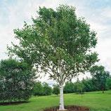 Himalajabirke Betula utilis var. jacquemontii Hochstamm 8-10cm
