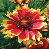 "Grossblumige Kokardenblume / Gaillardia x grandiflora ""Kobold"" im 9x11cm Topf"