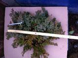 """Bonsaijungpflanze Juniperus procumbens """"nana"""" Zwergwacholder"""