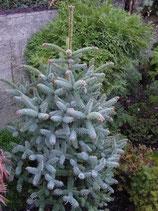 Spanische Blautanne / Abies pinsapo glauca 60-80cm hoch