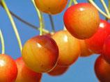 Kirsche Büttners rote Knorpelkirsche  100cm gross