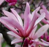 """Sternmagnolia rosa, Magnolia stellata """"Rosea"""" 50-60cm hoch"""