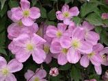 "Clematis montana ""Rubens"" rosa 70cm hoch"