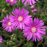 Mittagblume pink, Delosperma cooperi im 9x11cm Topf