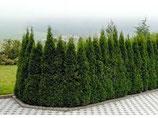 A) Thuja Smaragd 60-80cm hoch im Topf
