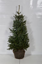 Serbische Fichte, Picea omorika 60-80cm hoch