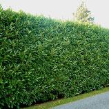 "Kirschlorbeer, Prunus laurocerasus ""Caucasica"" 225-250cm"