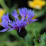 """Bergflockenblume, Centaurea montana """"Corerulea"""" im 9-10cm Topf"""
