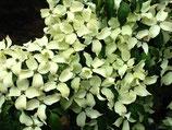 """Japanischer Blütenhartriegel, Cornus kousa """"China Girl""""  125-150cm hoch"""