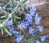 """Hängerosmarin, Rosmarinus officinalis """"Capri"""" im 9-10cm Topf"""