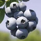 Heidelbeere Brigitta Blue 40-50cm hoch