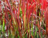 """Japanisches Blutgras Imperata Cylindrica """"Red Baron"""" im 9x11cm Topf"""