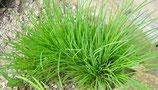 Schnittlauch, Allium schoenoprasum im 9-10cm Topf