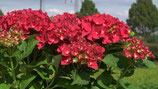 Hortensia Royal Red rot /  Hydrangea Royal Red rot 30-40cm gross