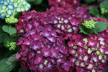 Hortensia Hot Red violett /  Hydrangea Hot Red violett 30-40cm gross