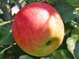 "Mini Apfelbaum ""James Grieve"" ca. 100cm hoch"