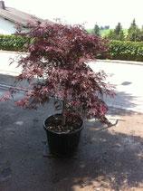 "Japanischer Schlitzahorn / Acer palmatum ""Tamukeyana"