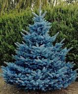 Blautanne, Picea pungens Blue Diamond 30-40cm