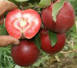 Apfel Rosette 125-150cm gross