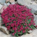 Polsterpflanze Blaukissen rot