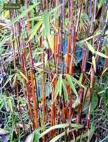 Bambus Fargesia Jiuzhaigou / rothalmiger Schirmbambus 150cm hoch im 34cm Topf