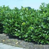 "Kirschlorbeer, Prunus laurocerasus ""Etna"" 175cm"