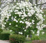 """Schneeball, Viburnum opulus """"Roseum"""" 50cm hoch"""