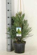Riesenmammutbaum, Sequoiadendron giganteum  30-40cm