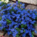 Steinsame, Lithodora diffusa blau im 9x11cm Topf