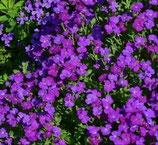 Polsterpflanze Blaukissen violett im 9x10cm Topf
