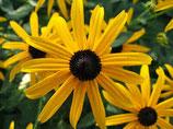 """Sonnenhut, Rudbeckia fulgida """"Goldsturm"""" im 9-10cm Topf"""